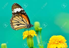monarch butterfly on a mexican sunflower stock photo picture and