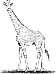 printable coloring pages giraffe