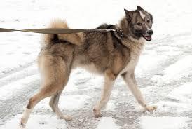boxer dog feet dog licking paws cut paw pads dog chewing paws dog paw