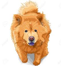 color sketch dog chow chow runs breed isolated on the white