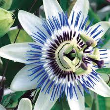 Blue Flower Vine - blue passion flower michigan bulb