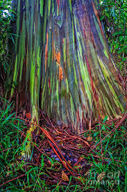 rainbow trees of hawaii photograph by edward fielding