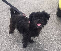 affenpinscher for adoption dogs perfect pets rescue inc
