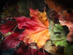 free images nature fall flower red autumn season maple