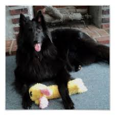 belgian sheepdog canada belgian sheepdog posters zazzle