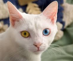 odd eyed cat wikipedia