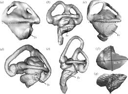 Ear Anatomy And Function Inner Ear Anatomy Is A Proxy For Deducing Auditory Capability And