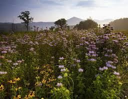 native plants of tennessee native blooms