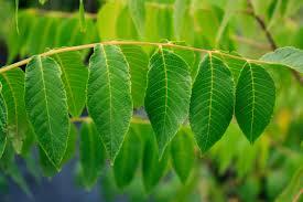ontario native plants black walnut leaf 1 ontario native plant nursery container