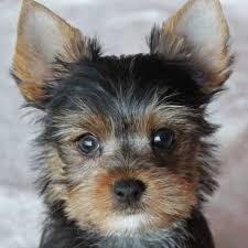 australian shepherd yorkie puppies yorkshire terrier puppies for sale in boca raton south florida