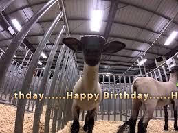 happy birthday singing sheep singing happy birthday