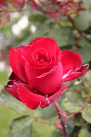 list of rose cultivars named after people wikipedia