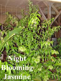 Fragrant Night Blooming Plants - 162 best scents images on pinterest flowers flower gardening