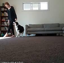 australian shepherd yoga talented dog copies owner u0027s step by step irish dance moves daily