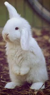 best 25 white bunnies ideas on pinterest fluffy bunny bunny