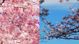 cherry blossom tree facts national cherry blossom festival fun facts youtube