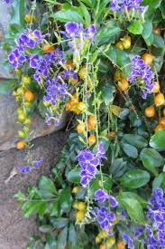 Buy House Plants Inspiration 80 Flowering House Plants Purple Design Decoration Of