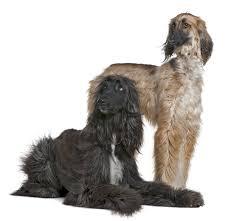 owning an afghan hound afghan hound dog breed information noah u0027s dogs