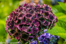 hydrangeas flowers antique hydrangeas wedding design oregon coastal flowers