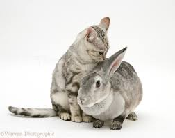 pets silver tabby cat and silver rabbit photo wp26904