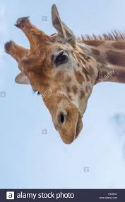 giraffe looking down stock photo royalty free image 97208058
