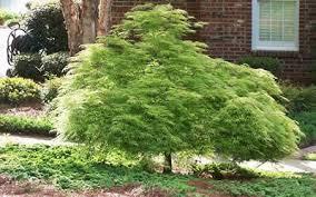 buy viridis japanese maple 3 gallon japanese maples green