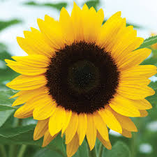 sunflower pictures sunrich orange summer sunflower seed johnny s selected seeds