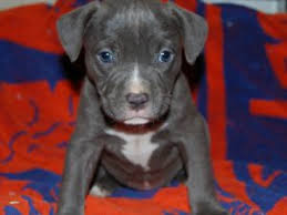 jack russell american pitbull terrier mix american pit bull terrier puppies for sale