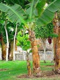 organic banana plants home gardening advice from master gardeners