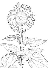 Sunflower Coloring Page Free Printable Coloring Pages Sunflower Coloring Page