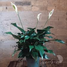 Peace Lily Plant Toronto Flower Delivery House Plants Peace Lily 6