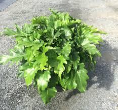 philodendron u0027little hope u0027 pool plants pinterest plants