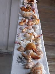 sea shells indian rock beach fl i spy florida fighting conch