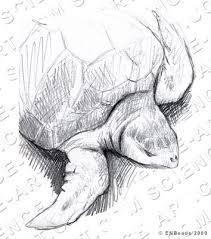 sea turtle drawing illustration science art com
