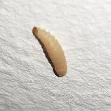 larven in der k che wie kommen maden in die küche home design ideen