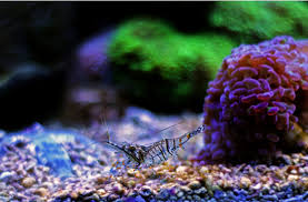 home aquarium the best cleaner shrimp for saltwater fish tanks the best cleaner