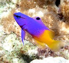 221 best marine fish images on pinterest marine fish saltwater