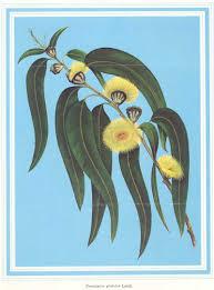 australian native plants victoria tasmania floral emblems australian plant information
