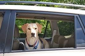 Dog In Car Meme - dog s head out the car window a dangerous habit tripswithpets com
