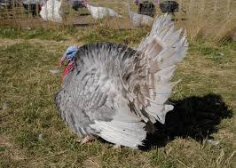 want to help ensure that blue slate heritage turkeys will live on