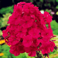 phlox flower new arrival home garden plants 100 seeds outdoor perennial phlox