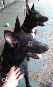 belgian malinois puppies for sale 2016 big belgian malinois puppy with complete vaccines for sale