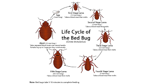 How Often Do Bed Bugs Reproduce Cisr Bed Bugs