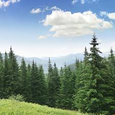amazing pine tree facts that are worth a read