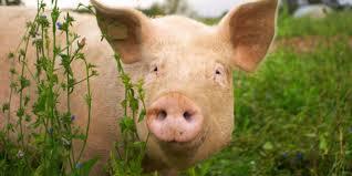 bbc earth the birth of half human half animal chimeras