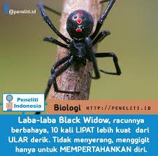 laba laba black widow paling beracun peneliti indonesia