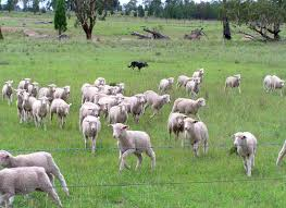 dohne sheep in australia rural ramblings