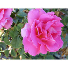 Patio Tree Roses by Rosa Hybrid Tea Roses Patio Tree Forms We Grow Boething