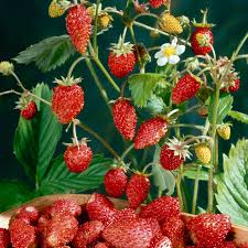 how to grow the strawberry tree from seed garden how