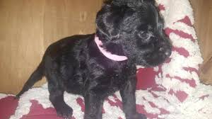belgian sheepdog arizona pawbe puppies for sale sell your puppies cutest dog contest